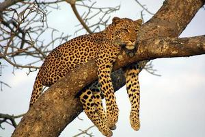 fauler faulenzender Leopard foto