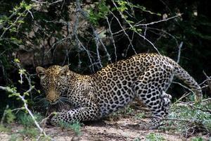 Leopard fängt Schildkröte