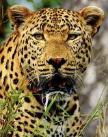 männliches Leopardenporträt foto