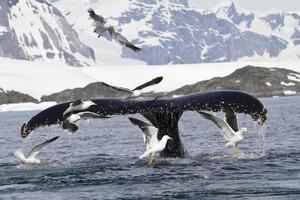 Buckelwalschwanz, der während der Fütterung taucht 1 foto