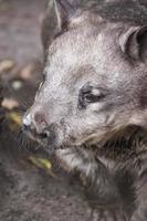haariger Wombat foto