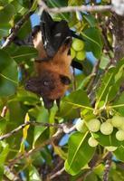 fliegender Fuchs foto