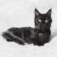 kleiner schwarzer Kätzchen Maine Coon, der auf weißem Hintergrund aufwirft