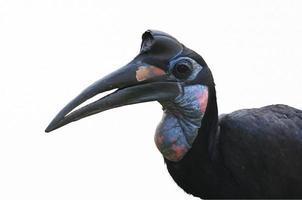 isolierter abessinischer Bodenhornvogel foto