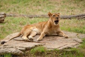 knurrende Löwin foto