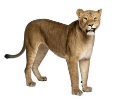 Löwin, Panthera Leo, 3 Jahre alt foto