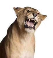 Löwin, Panthera Leo, knurrend vor weißem Hintergrund foto