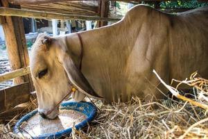 Kühe essen. foto