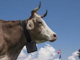 Seitenansicht der Schweizer Kuh, die eine schwarze Glocke unter blauem Himmel trägt. foto
