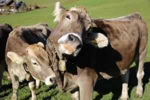 das Vieh foto