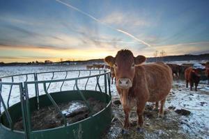 Sonnenuntergang Kuh foto