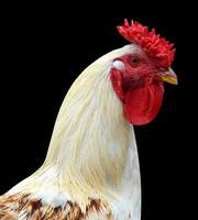 Landwirtschaft Vogel Geflügel Hahn foto