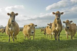 vier Kühe foto