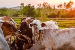 grasende Kühe foto