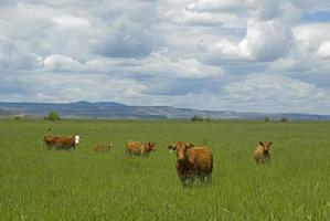 fünf Kühe. foto