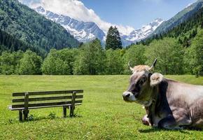 schöne Kuh foto