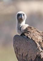 Geier, von Angesicht zu Angesicht, Botswana foto