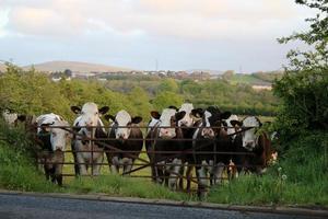 Kühe schauen über das Tor foto