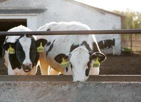 Gruppe von Kühen foto