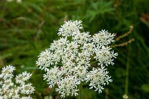 Blumen - Kuhpetersilie foto