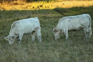 zwei Kühe (# 1) foto