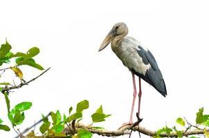 Vogel (Weinbruststar) lokalisiert auf weißem Hintergrund foto