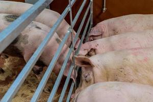Schweine foto