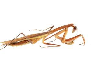 Gottesanbeterin Insekteninsekt isoliert foto