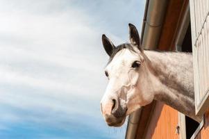 Porträt des reinrassigen grauen Pferdes im Stallfenster.