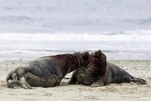 graue Robben kämpfen foto