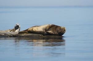 Robbenmutter und Marionette liegen auf Felsen in der Ostsee foto