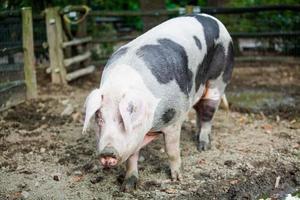 Schwein foto