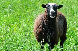 Schafe, die auf einer Wiese grasen und in das Kameraobjektiv schauen foto