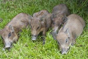 Wildschwein, das auf der grünen Wiese schläft foto