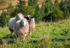 Schafherde, die auf den Hügeln weidet foto