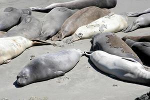 entspannende Robben 2 foto