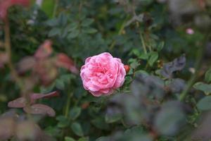 Blütenrose