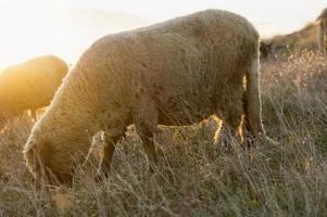 Schafe, die auf dem Feld grasen und die letzte Stunde Sonnenschein genießen foto