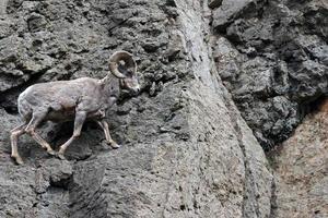 Dickhornschaf, das die Linie im Yellowstone-Nationalpark geht