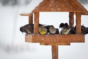 Kohlmeise im Winter foto