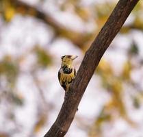 Crested Barbet erwachsene Zucht Männchen foto