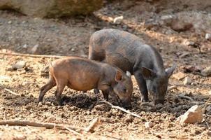 Baby Wildschwein foto