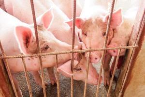 Schwein im Stall foto