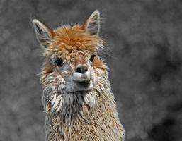 Alpaka mit wolligen Locken foto