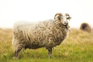 große weiße männliche Schafe, die im Gras stehen foto