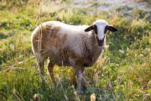 einzelnes Schaf, das Kamera im grünen Feld betrachtet foto