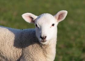 Nahaufnahmeporträt eines Baby-Lammes in einem Feld foto