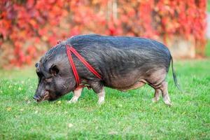 wildes Schwein in einem Park foto