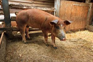braunes Schwein foto