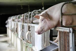 hungrige Schweine foto
